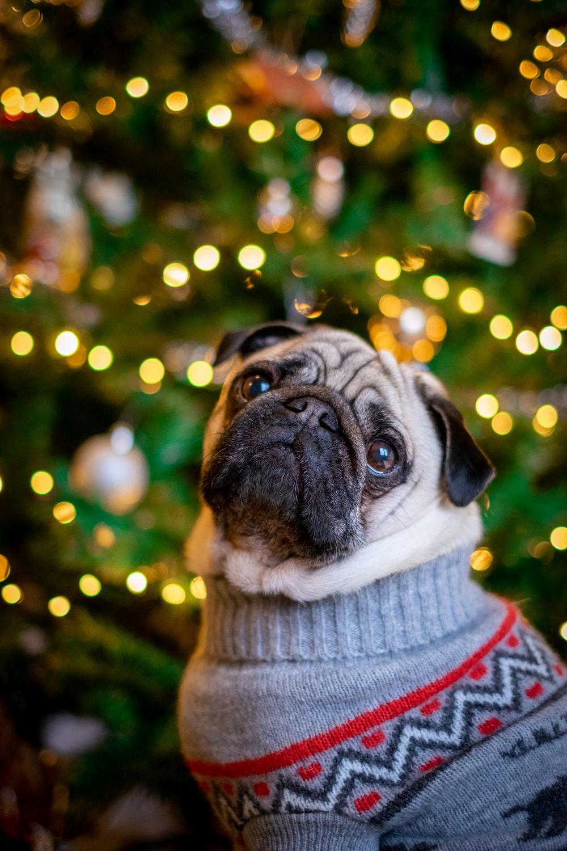pawn pug standing beside lit Christmas tree