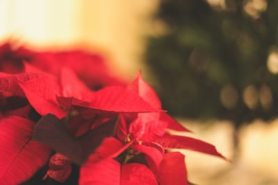red-leafed plant poinsettia zoom background