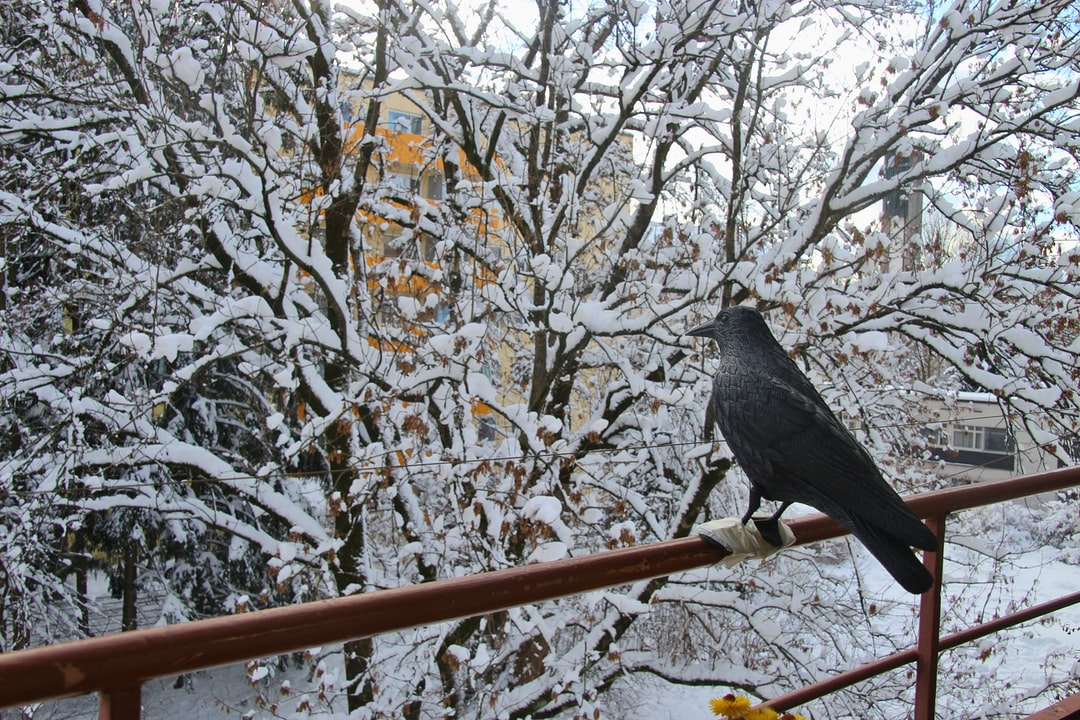 Winter in the suburb:  An artificial raven on a balcony, looking indifferently at snow-covered trees. Salzburg city, district of Lehen, Austria, Europe.