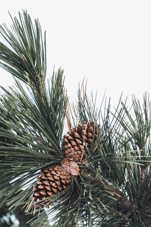 brown pine cones