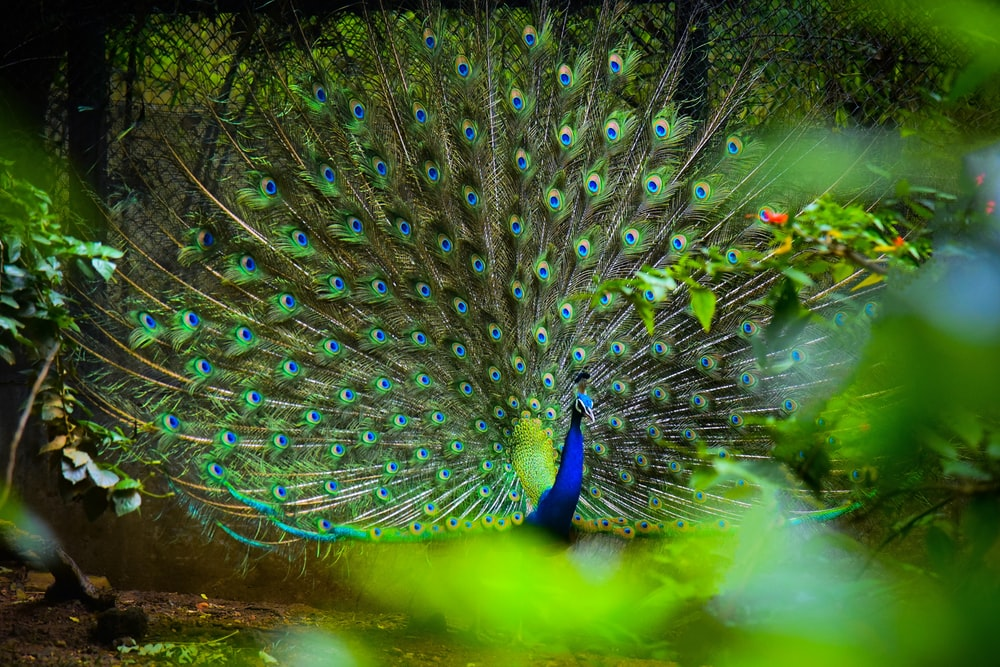 blue and yellow peacock
