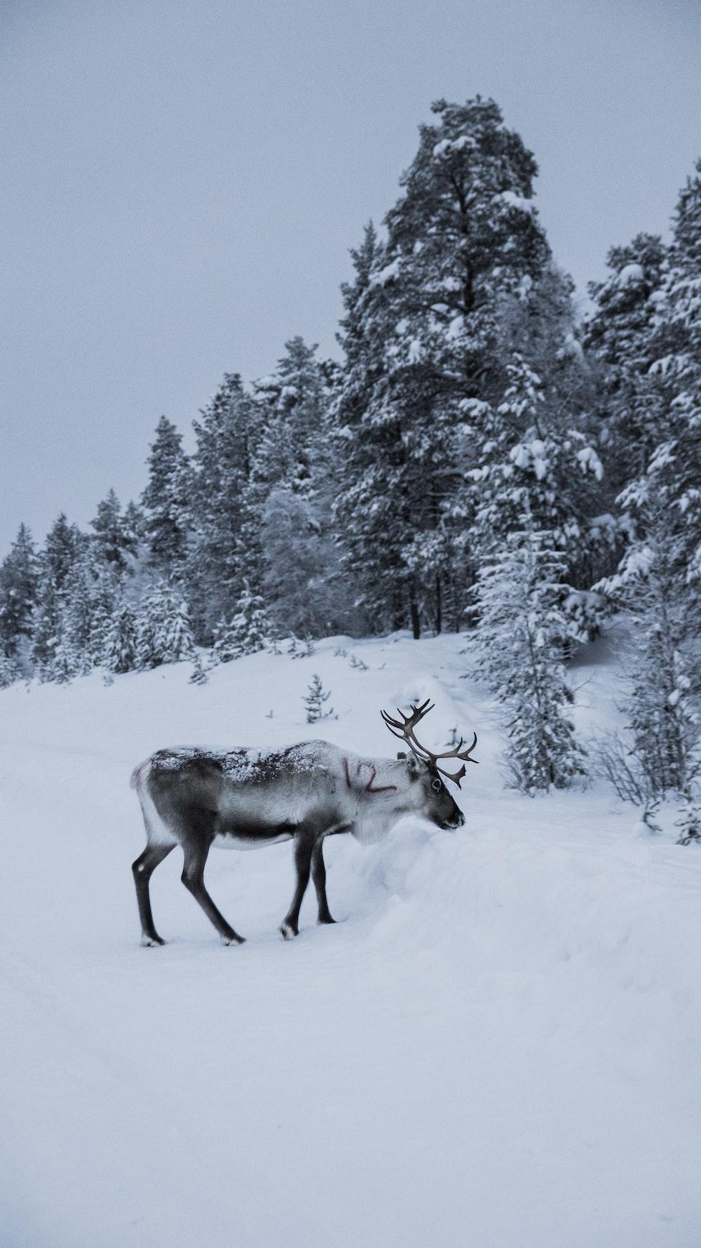 gray elk