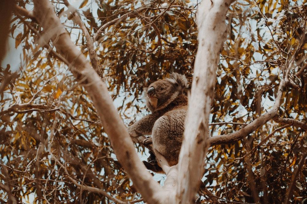 koala bear climbing on tree