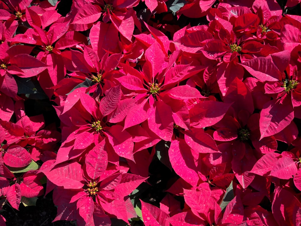 macro photography of pink poinsettia flowers