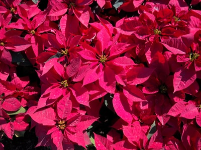 macro photography of pink poinsettia flowers poinsettia zoom background