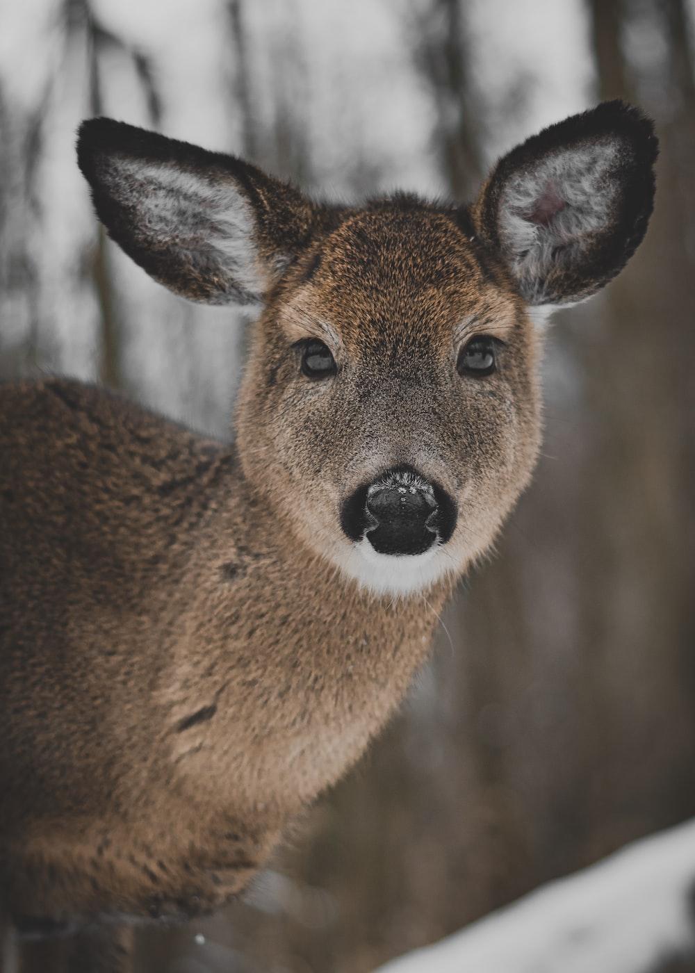 brown and black deer