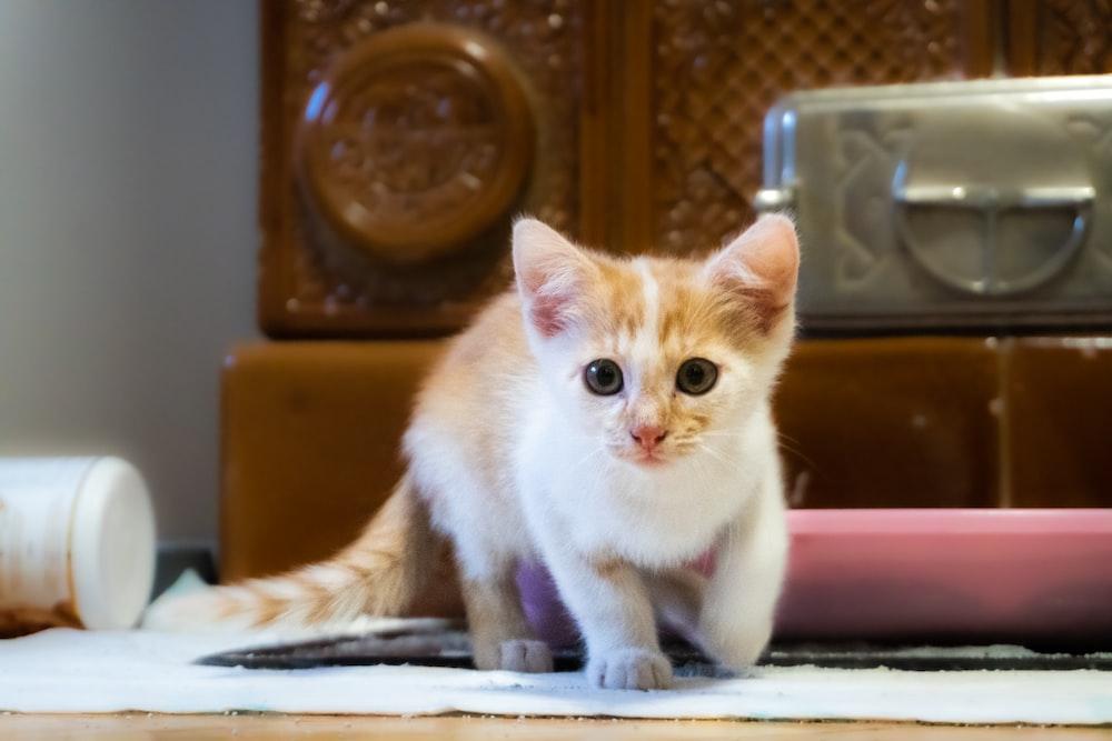 short-fur white and orange kitten