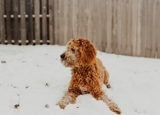 adult brown dog on white surface