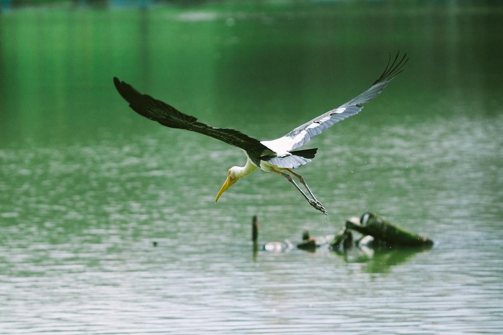 osprey bird flying above body of water