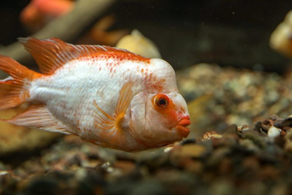 white and orange fish