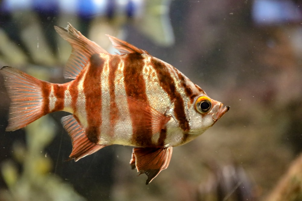 selective focus photography of gray and brown striped fish