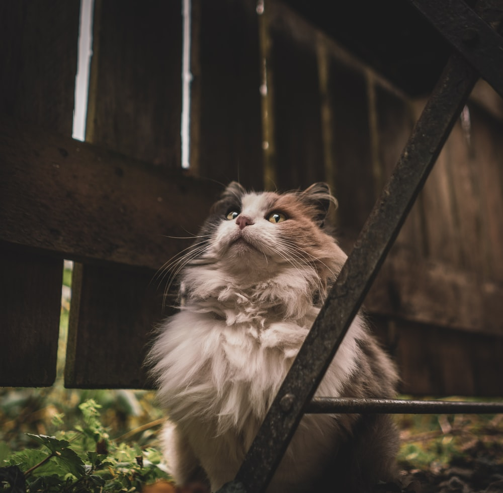 long-furred white and brown cat