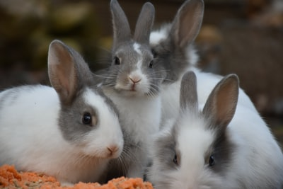 white and gray rabbits rabbit teams background