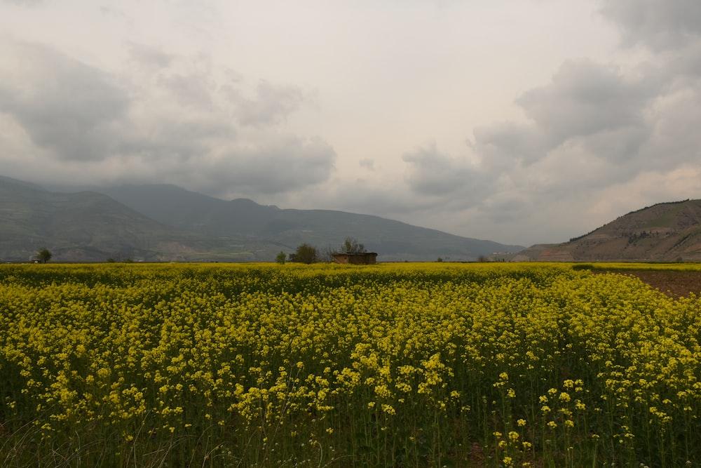 yellow petaled flower field under cloudy sky