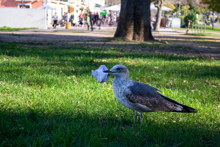 A seagull cleaning the park in Lisbon