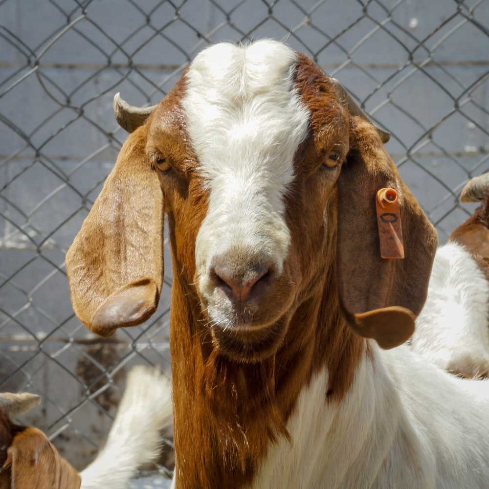 white and brown goat