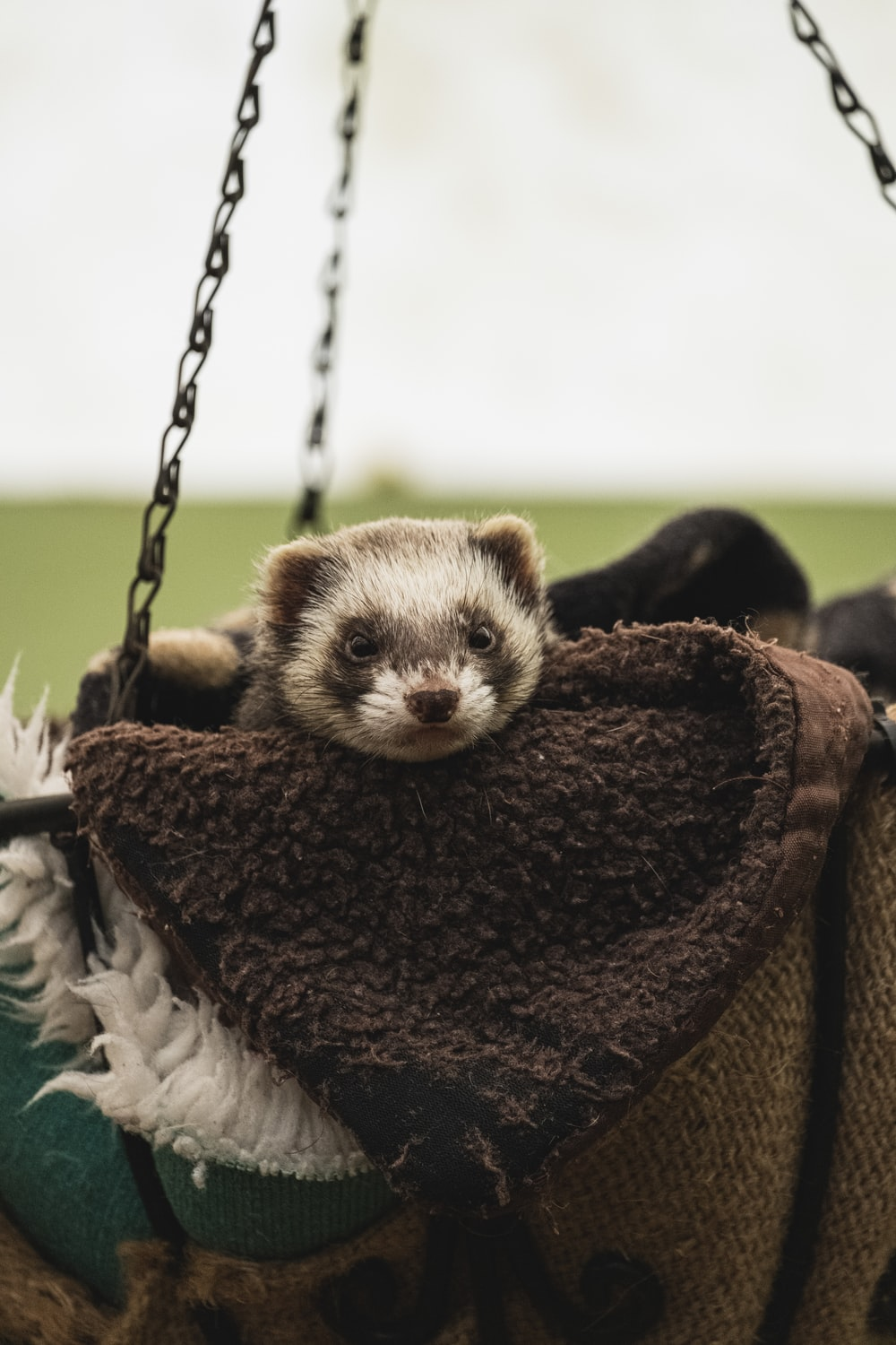white and black ferret in the bag