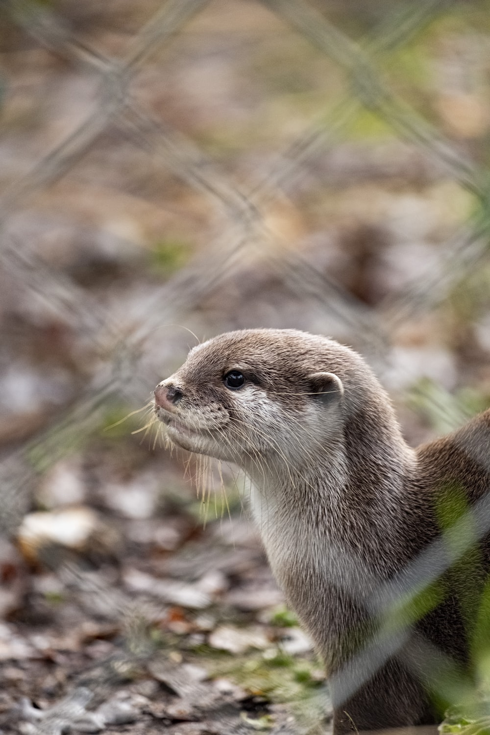 white and brown weasel photograph