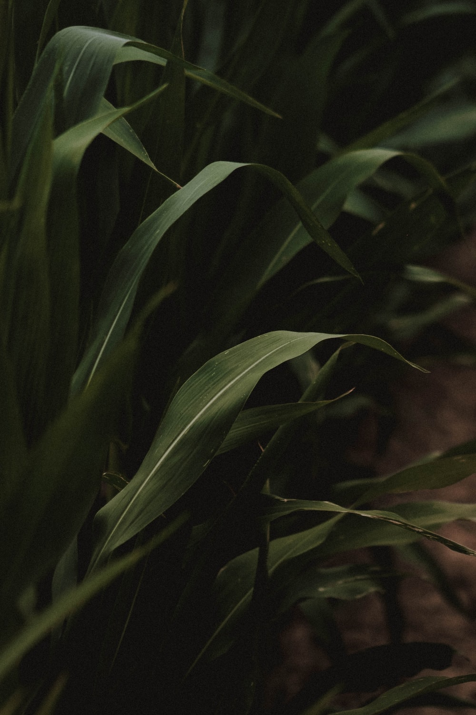 macro photography of green corn plant