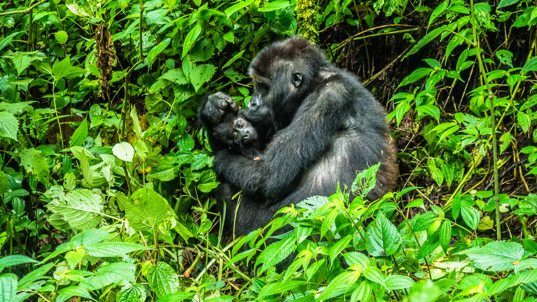 Gorilla mother with her new baby. Kissing and showering it with love like that of a human. Amazing gorilla trekking through the Congo to see the Eastern Lowland gorillas.