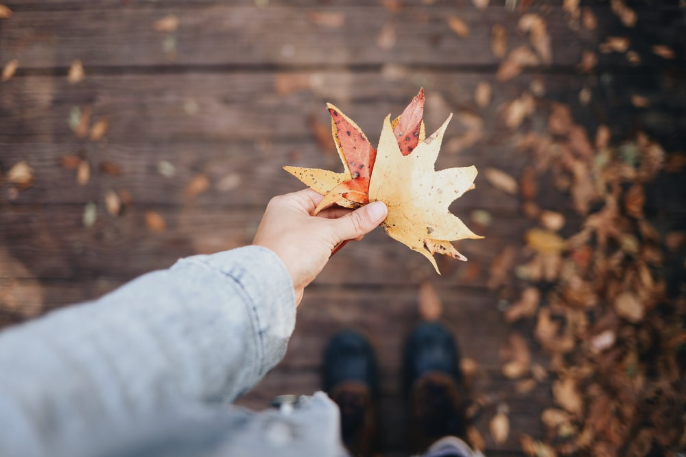 person holding dried leaves selective focus photography