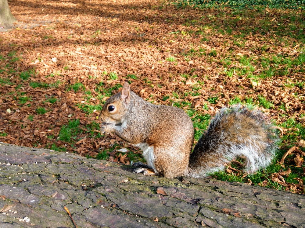 selective focus photography of brown squirrel on green grass