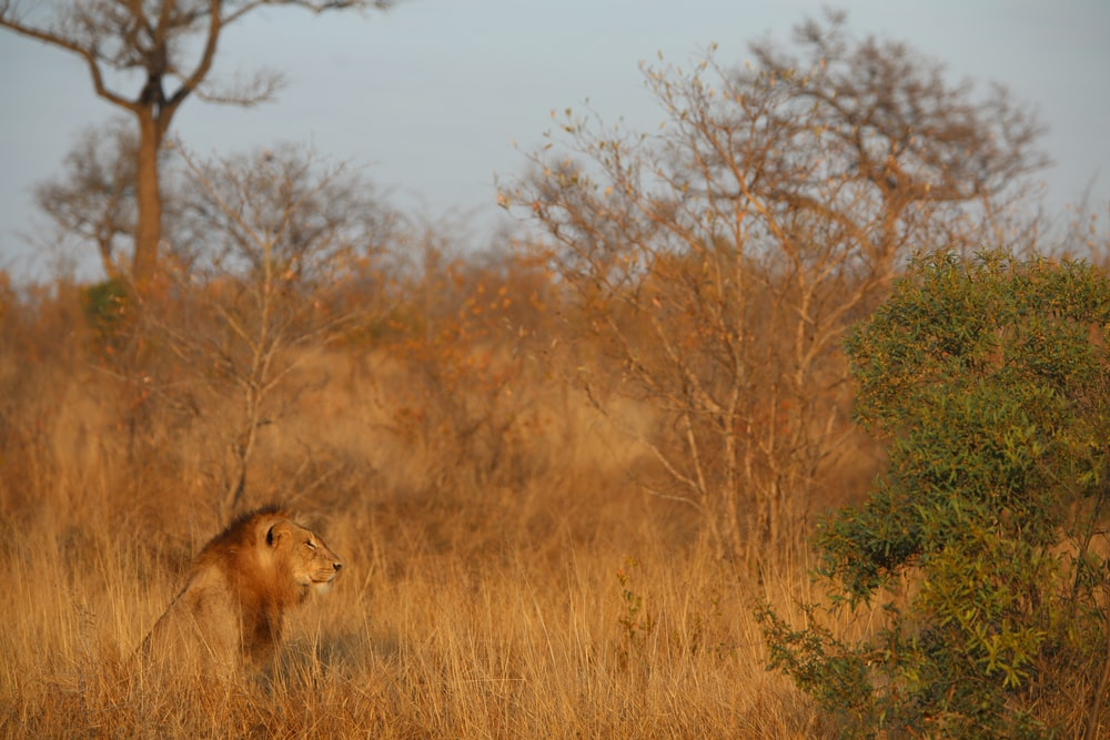 brown lion near trees during daytime