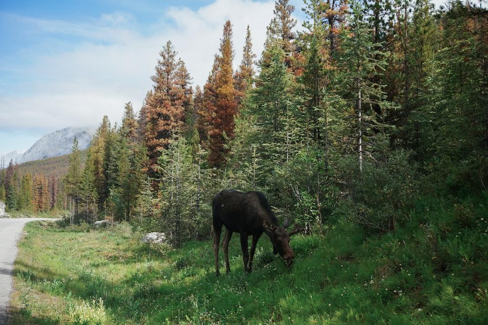 brown moose eating grass on sidewalk