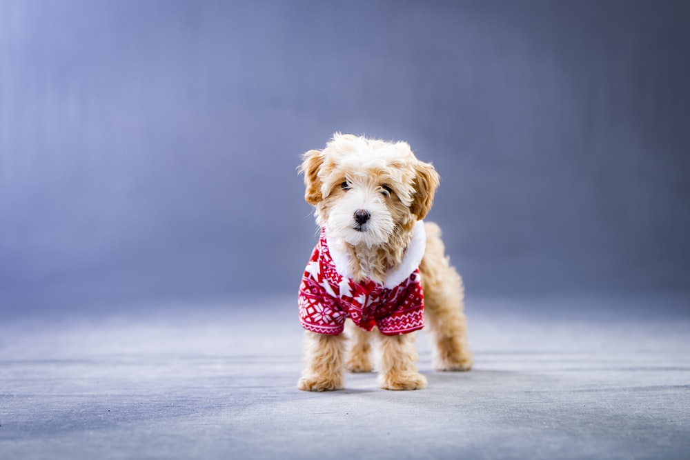long-coated brown and white puppy wearing red and white shirt