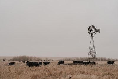 herd of black cattle kansas zoom background