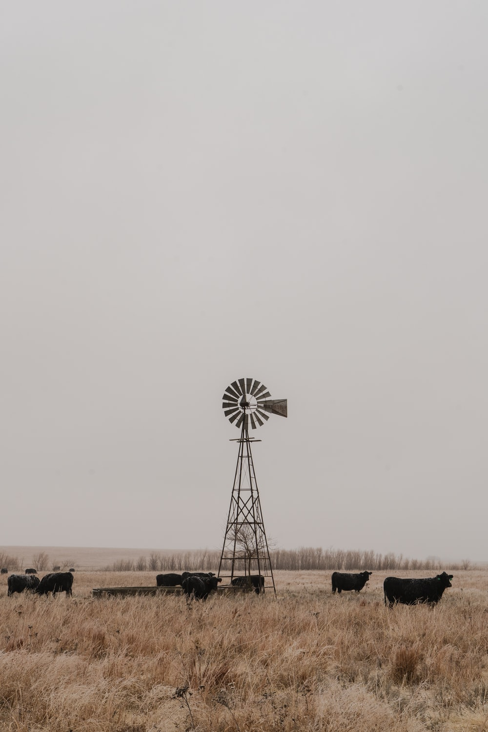 herd of black cattle and wind mill