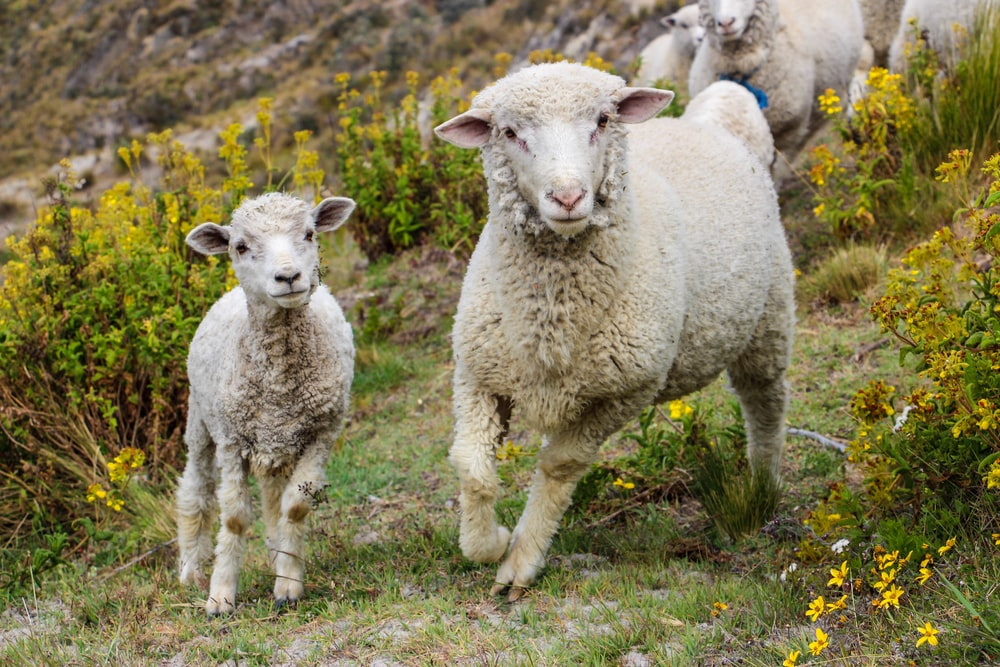 selective focus photography of two lambs on green grass
