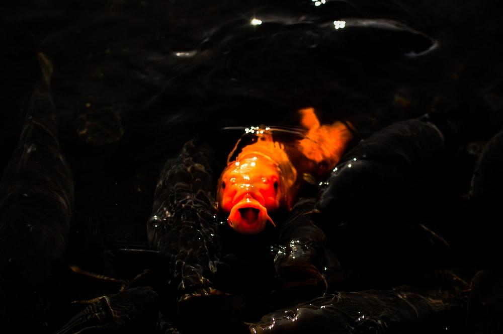 orange fish submerging on water surface