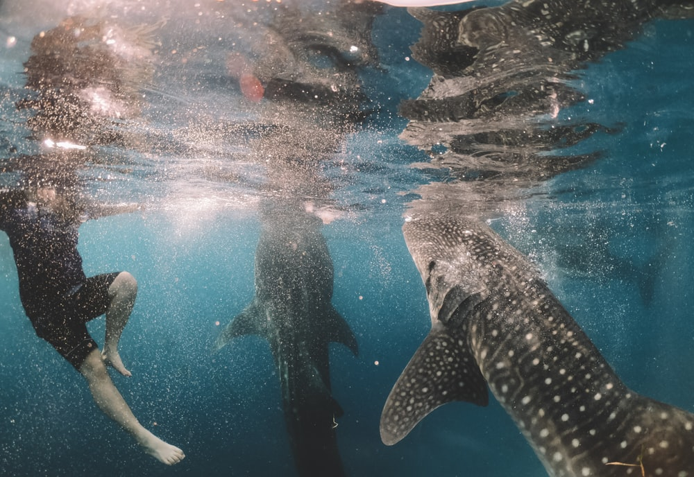 whale shark swimming near person under water