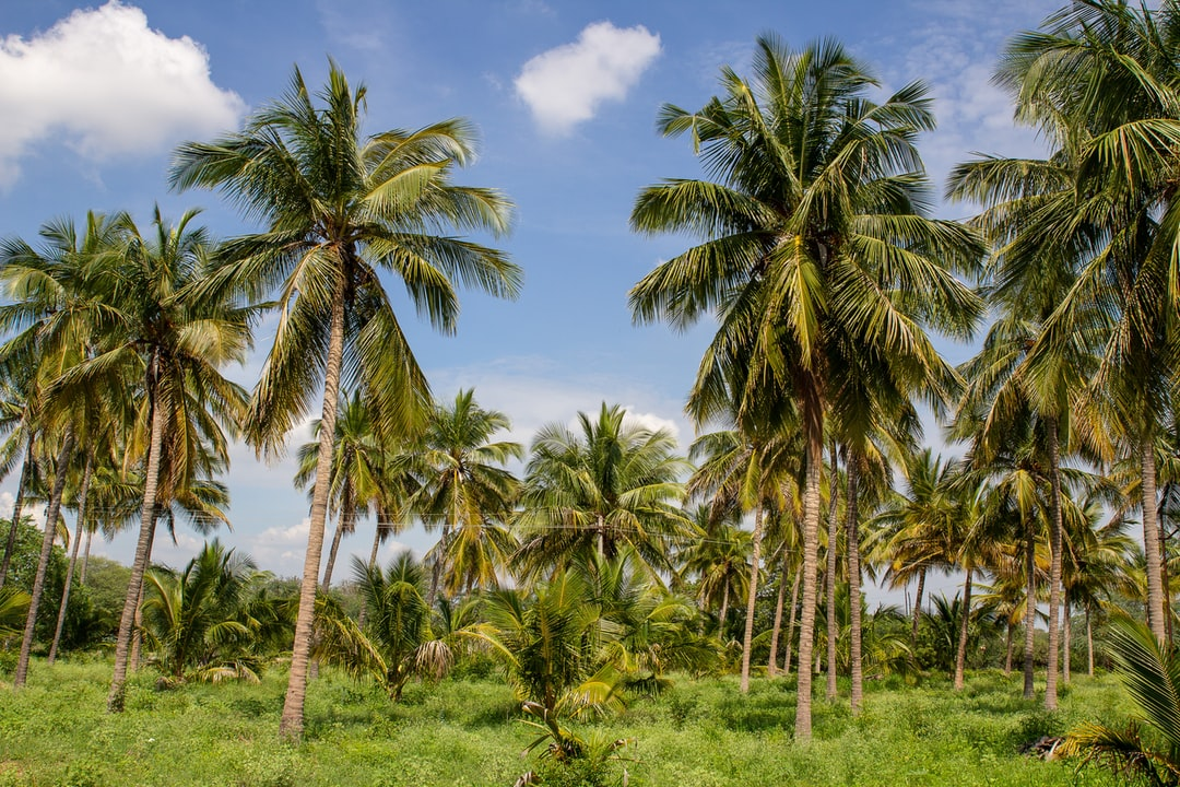 A palm grove in the Tamil Nadu country side. Due to draught many farmers were forced to abandon the trees.