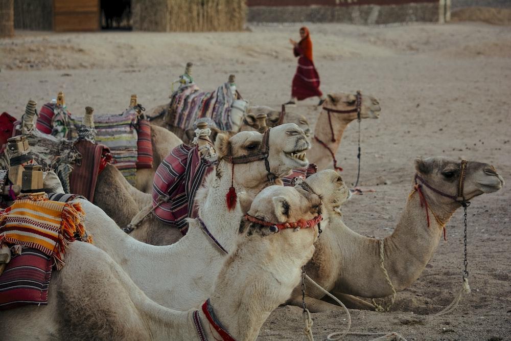 brown camel lying on sand