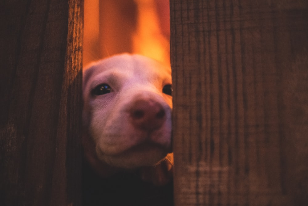 short-coated white puppy peaking between wooden walls