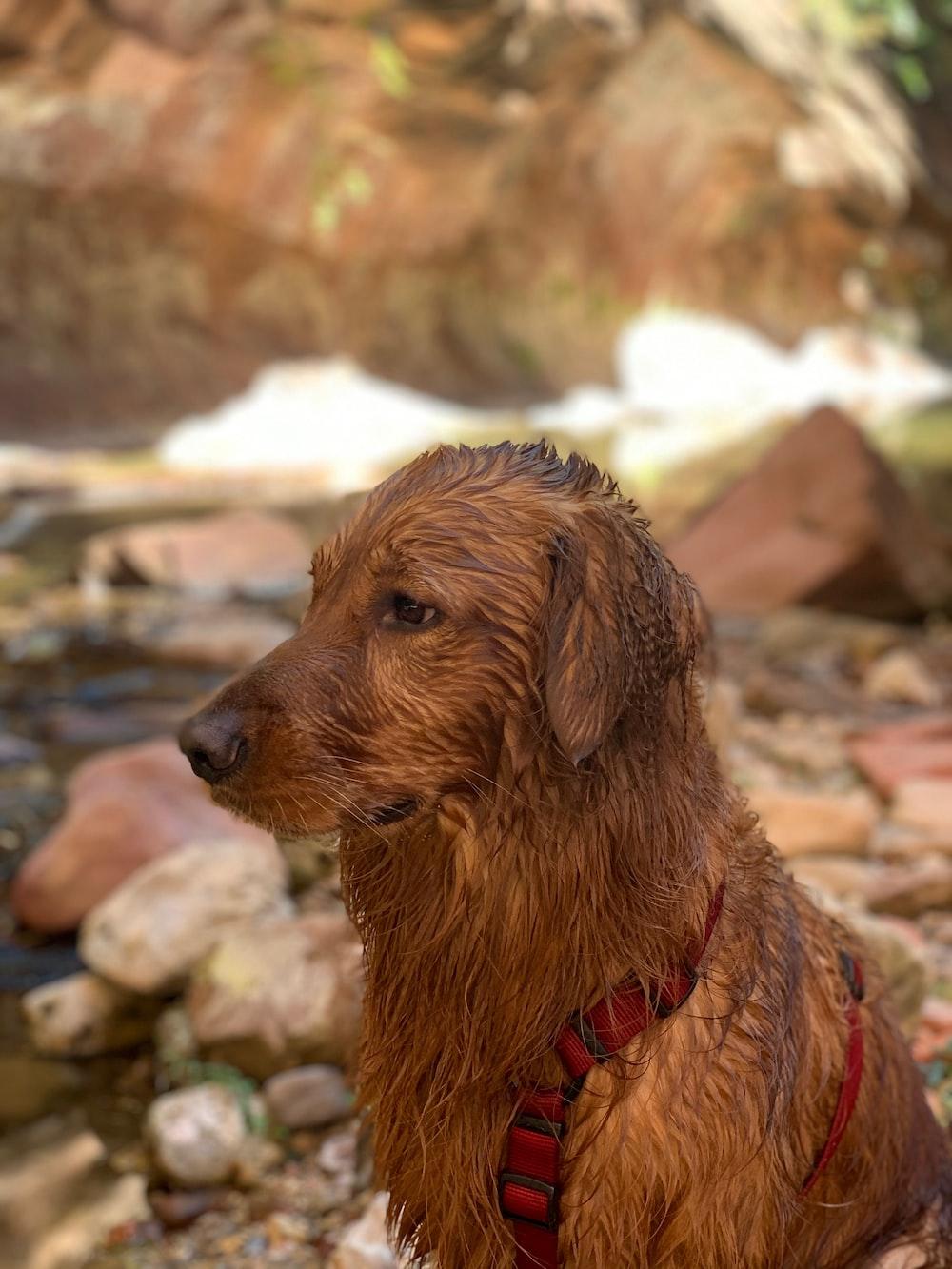 wet brown dog