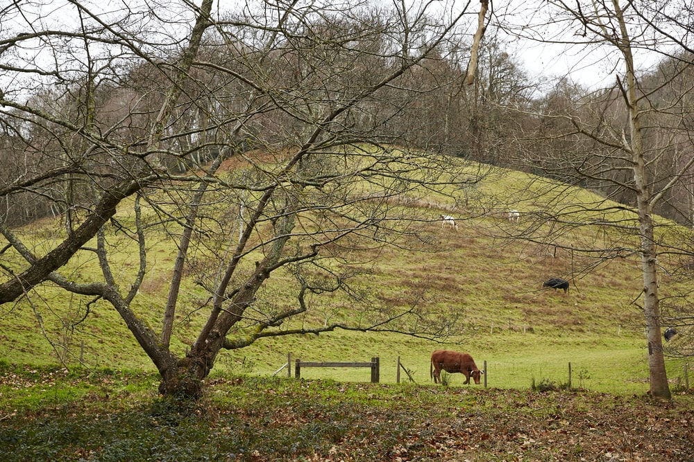 brown cattle eating grass on field