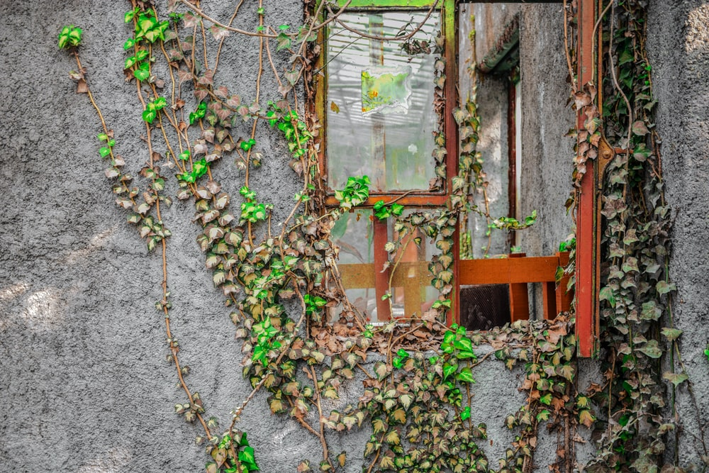 green-leafed vine creeping on a gray wall and glass window