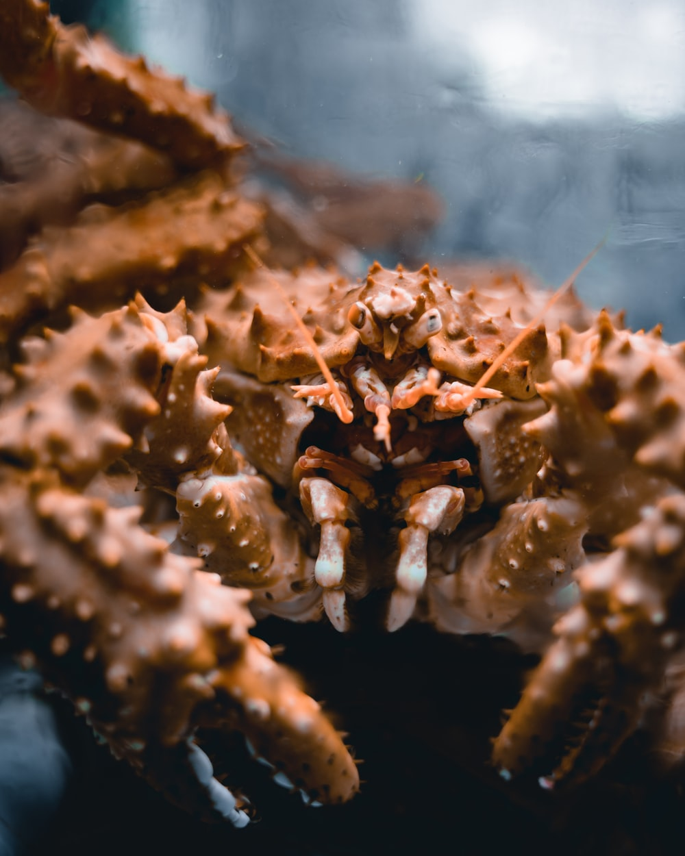 brown and white crab