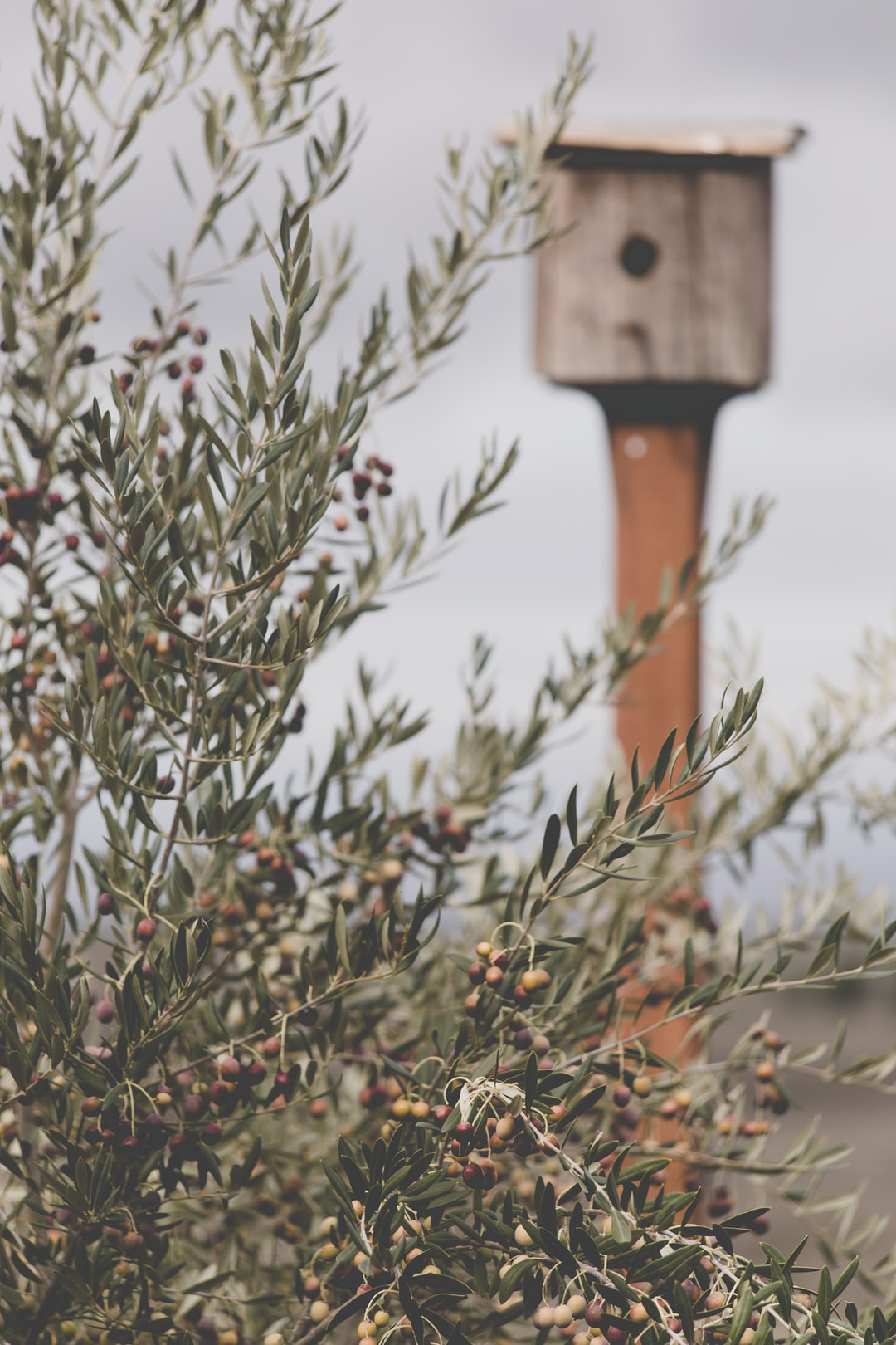 Olive tree covered in olives with a rustic birdhouse in the background.