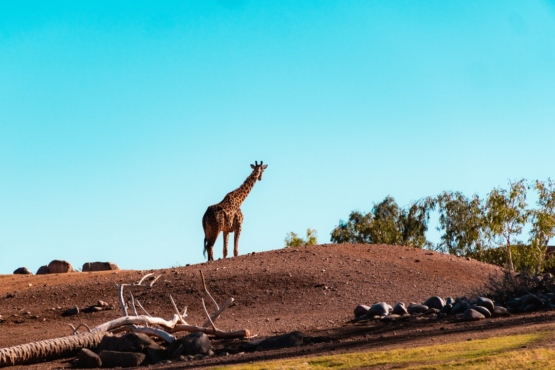 A giraffe on a hill peering over the valley.