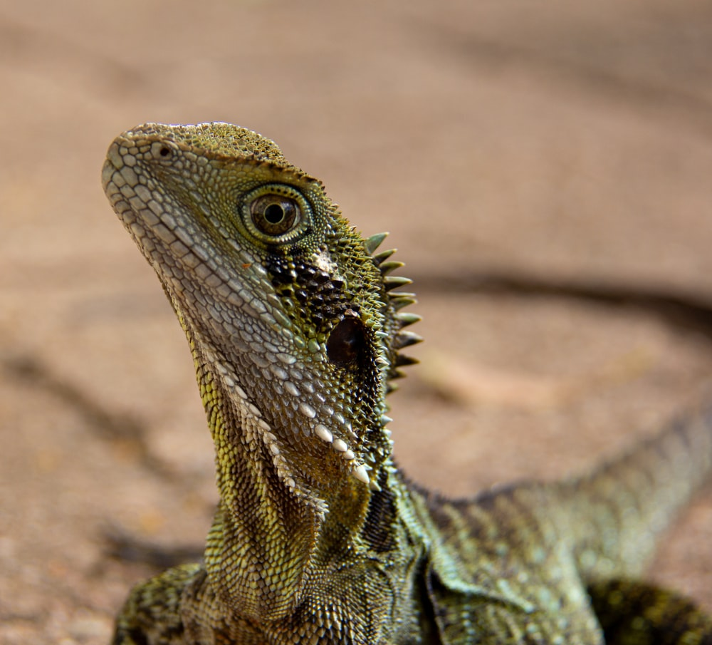 close up photography of brown lizard\
