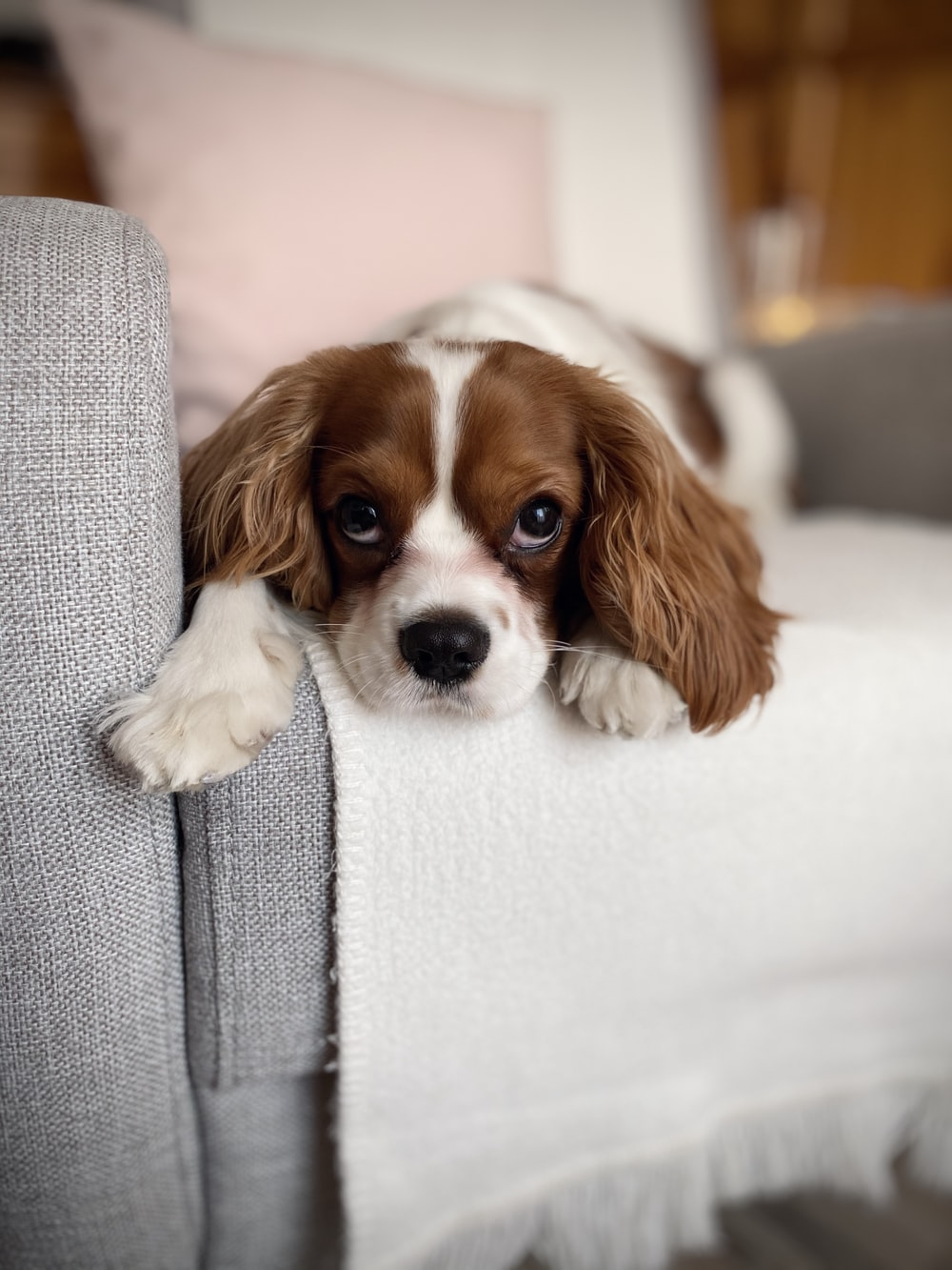 long-coated white and tan dog lying on sofa chair