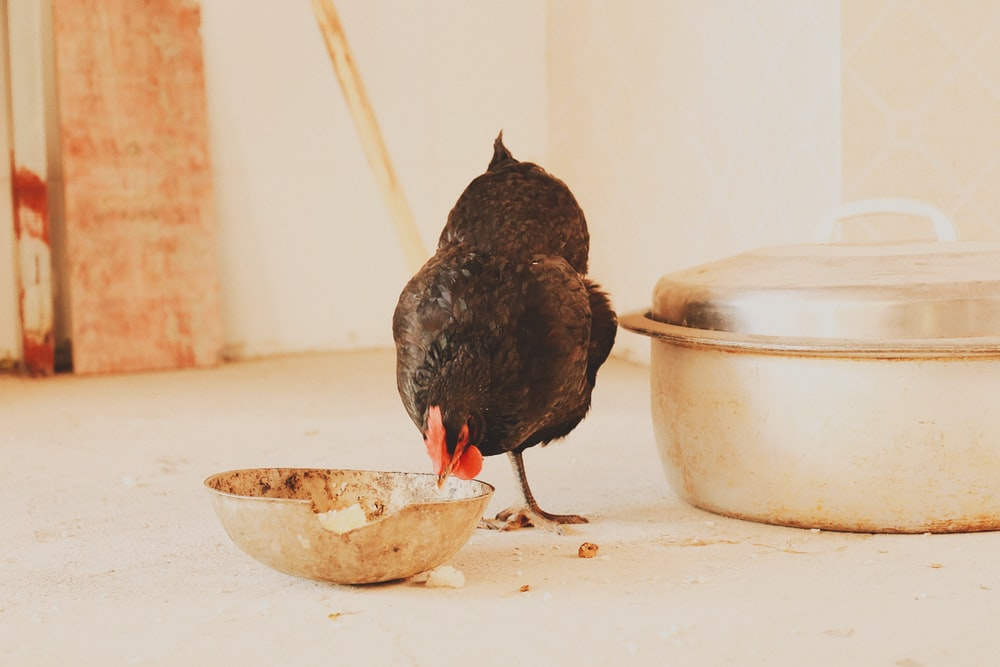 black chicken hen eating on bowl