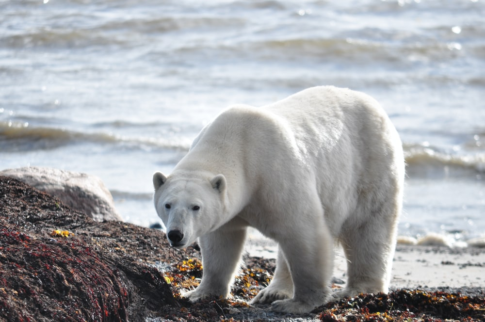 polar bear on seashore