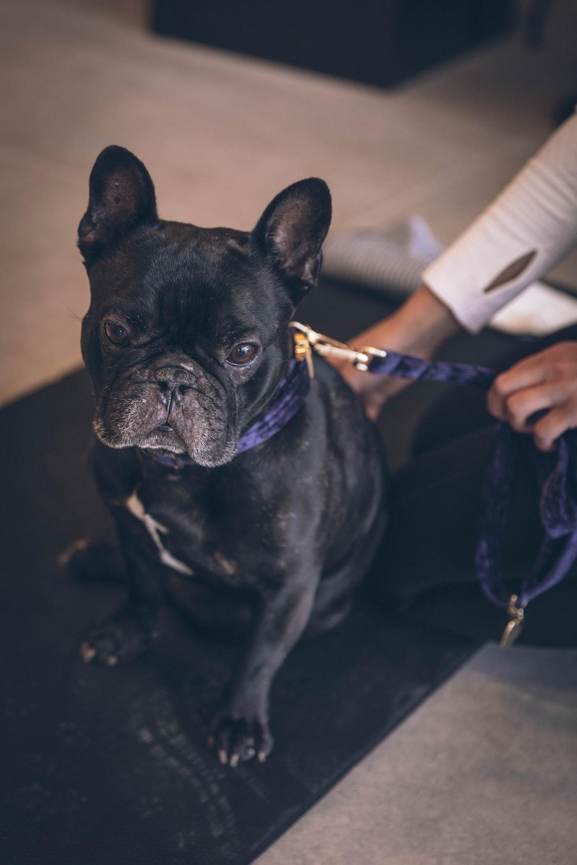 macro photography of black bulldog