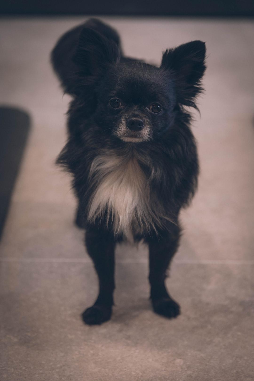 Cute black puppy dog pomeranian