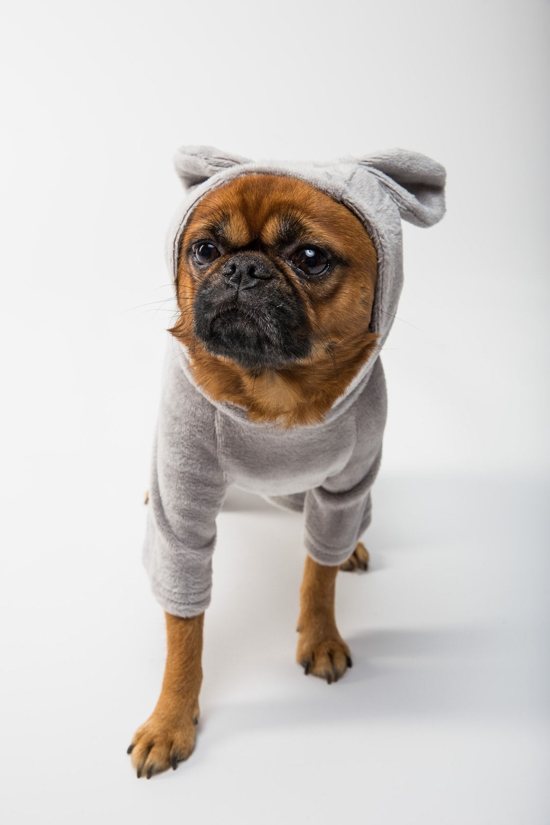 Griffon dog in grey onesie clothes front face